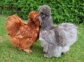 la poule soie