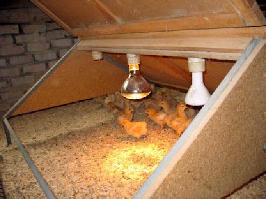 lampe pour poussin