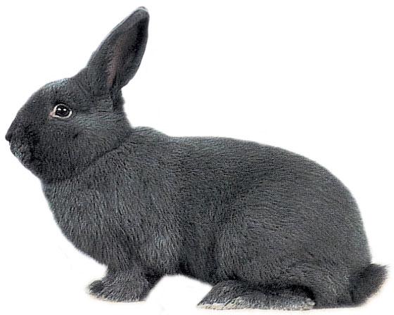 lapin bleu de vienne a vendre