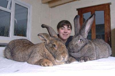 lapins geants
