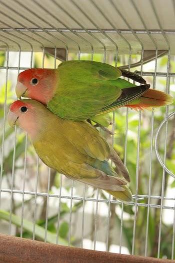 les inseparables oiseaux prix