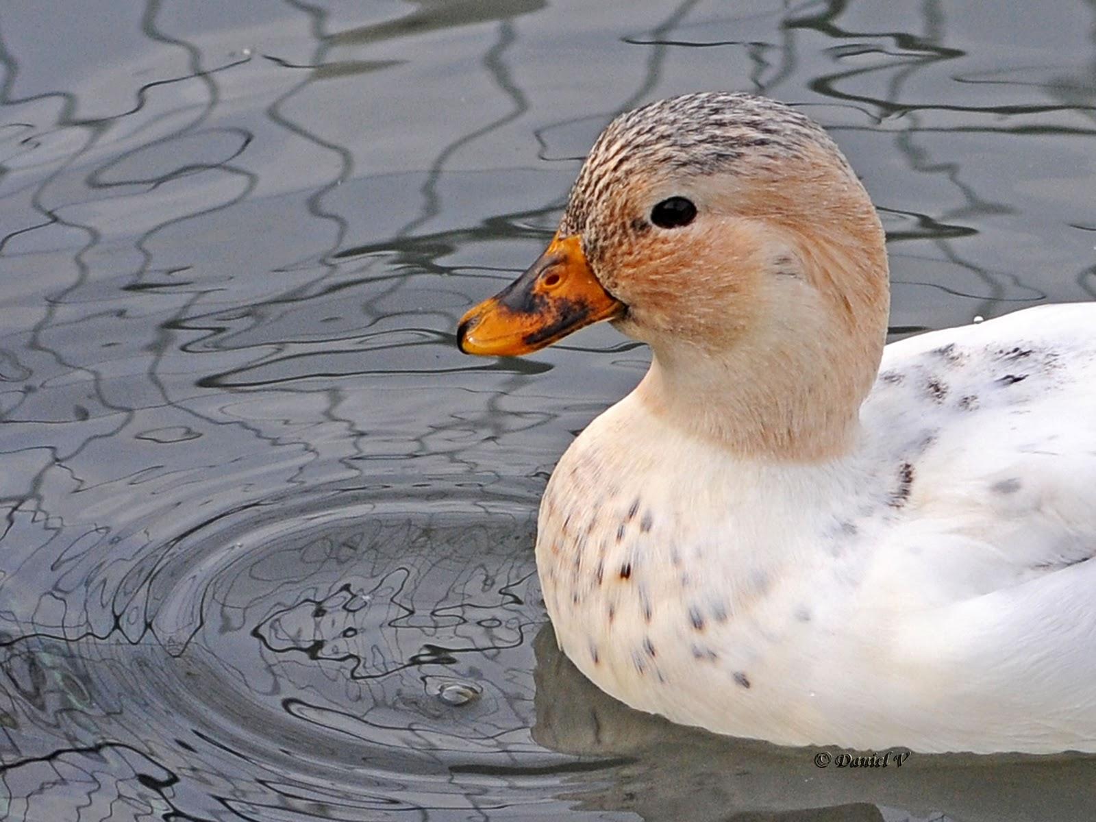 mignon canard