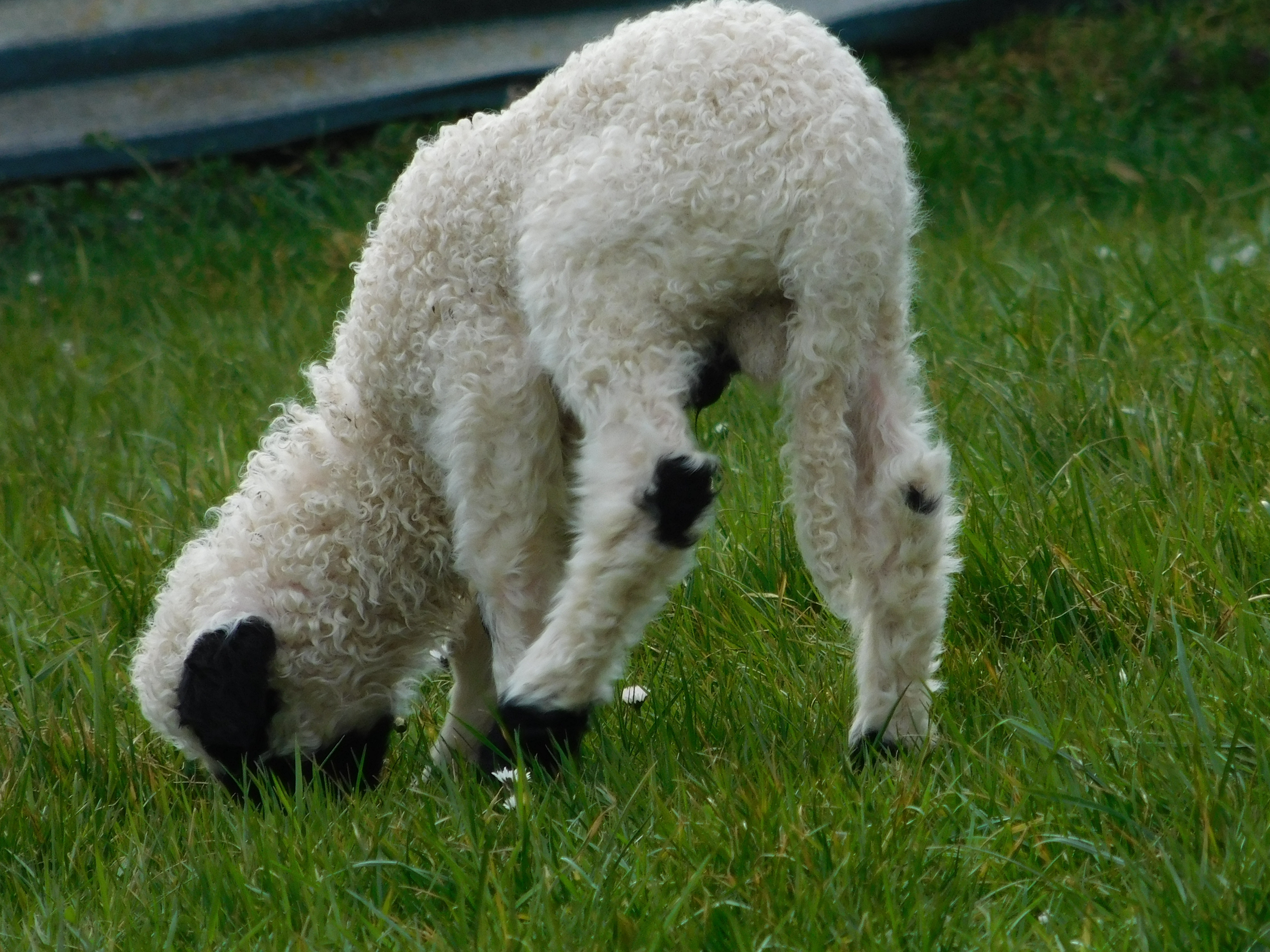 mouton miniature