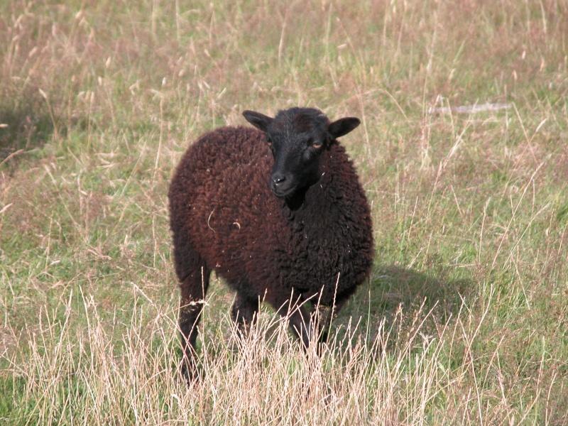 mouton ouessant a vendre