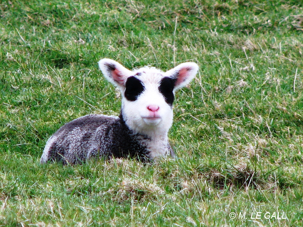 mouton ouessant