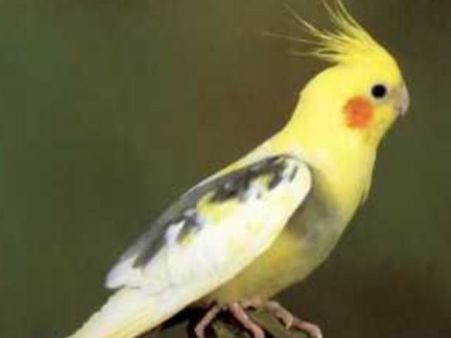 oiseau calopsitte