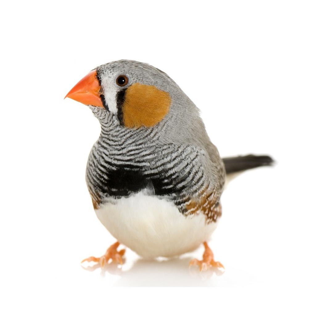 oiseau mandarin