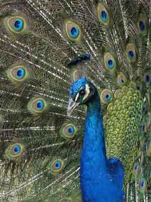 oiseau paon