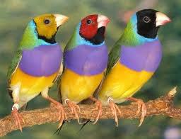 oiseaux d ornement