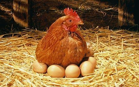 ou acheter des poules pondeuse