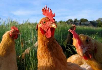 ou acheter des poules pondeuses