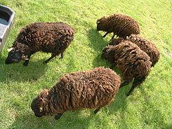 ouessant mouton