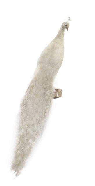 paon blanc a vendre