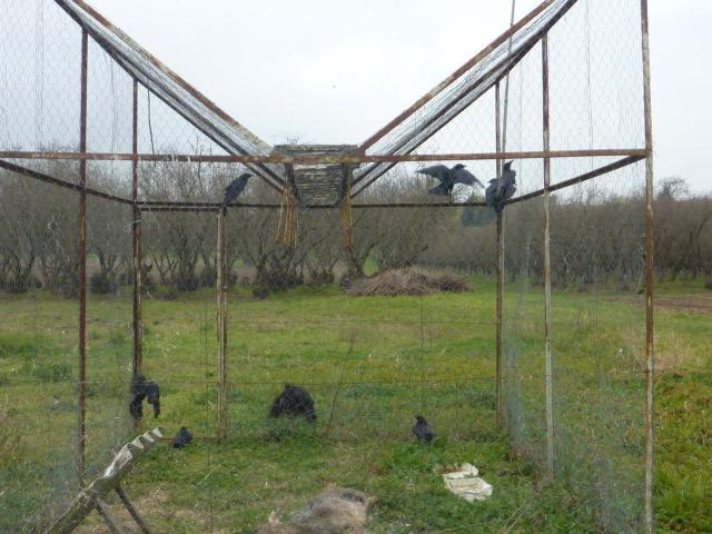 piege corbeau
