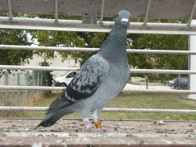 pigeon a vendre