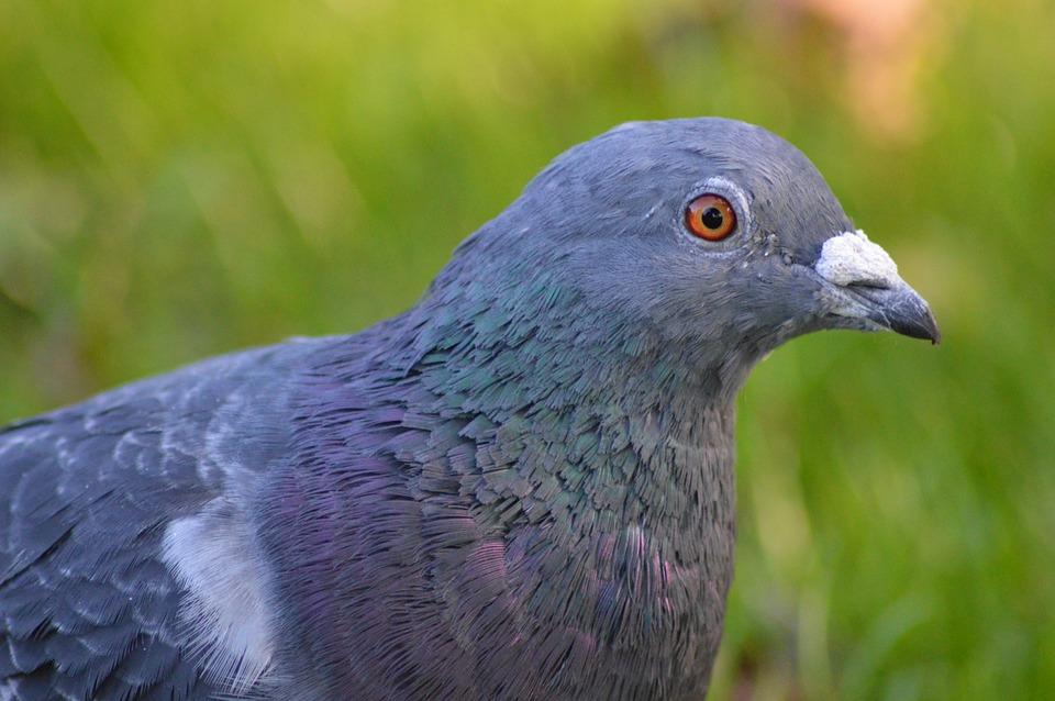 pigeon bleu