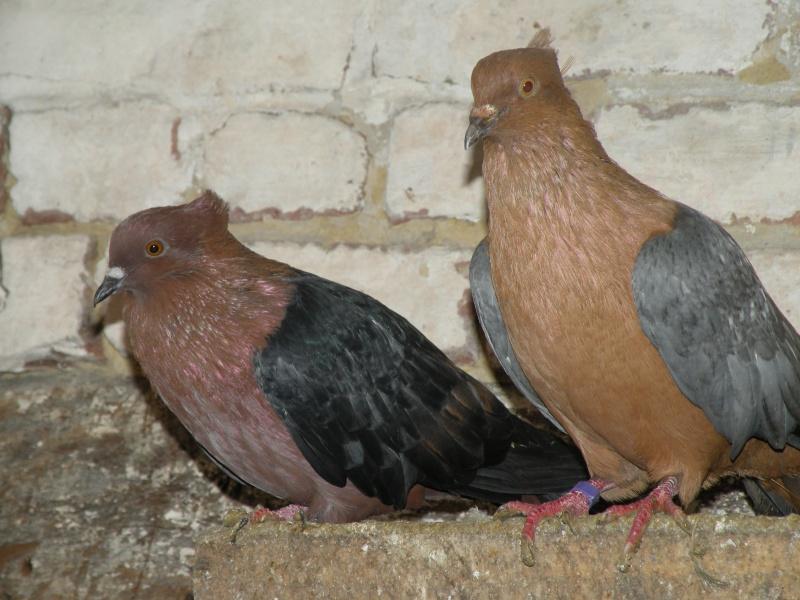 pigeon bouvreuil