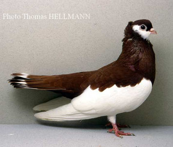 pigeon culbutant