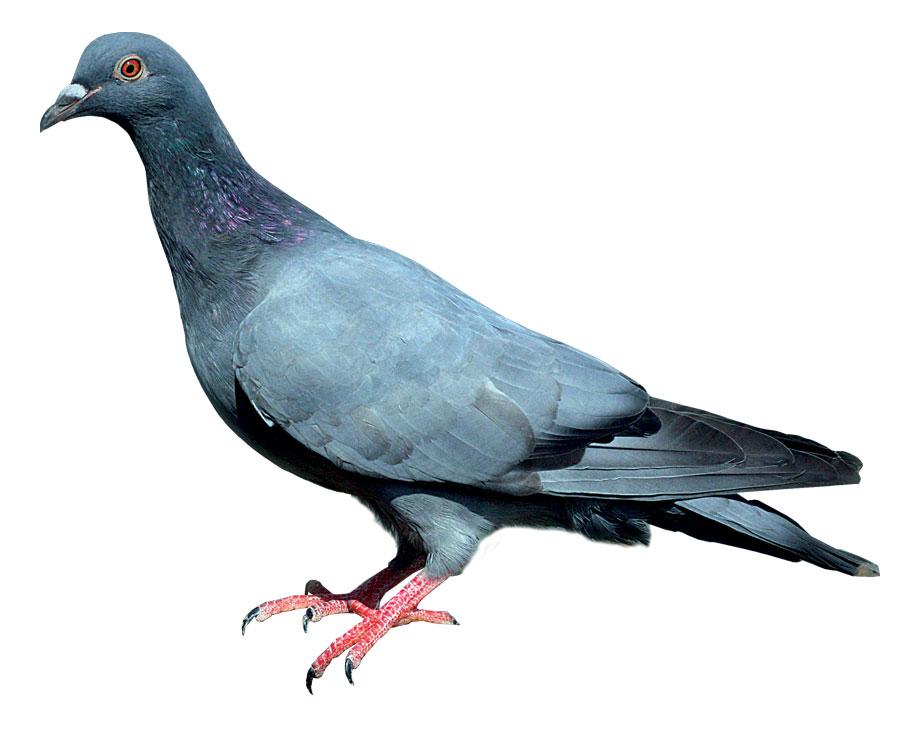pigeon gascogne