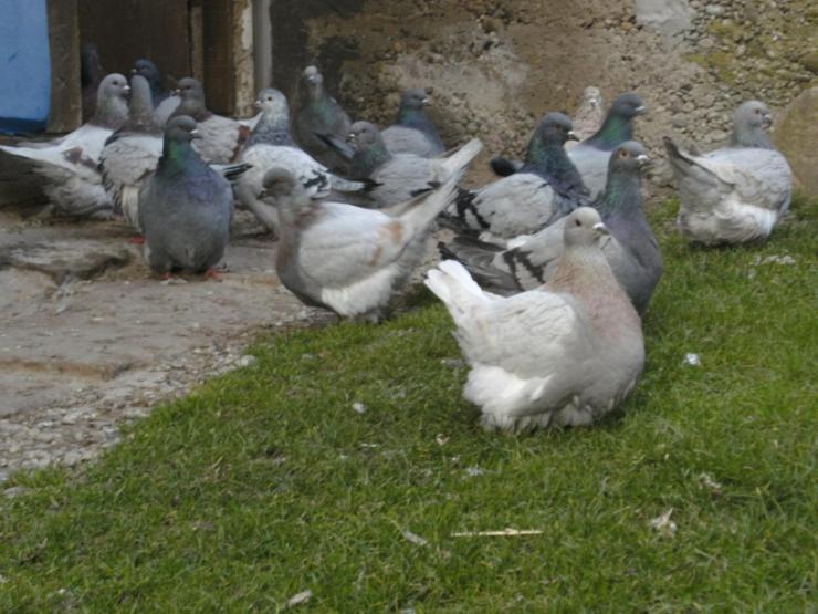 pigeon mondain elevage