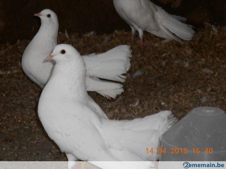pigeon paon a vendre