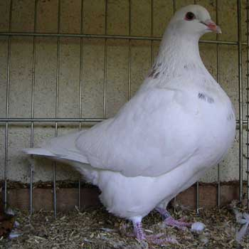 pigeon texan reproduction