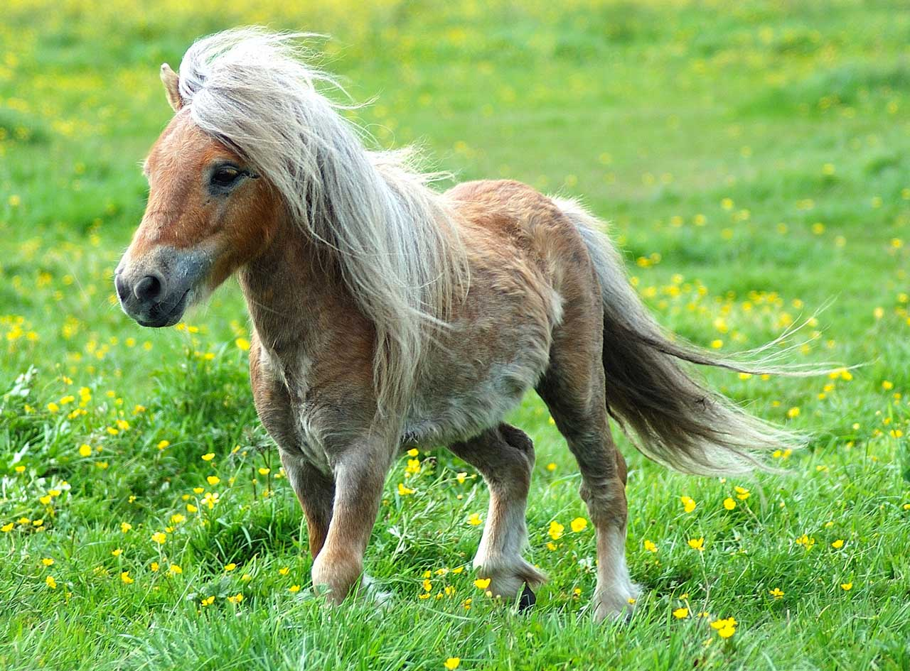 poney miniature a donner