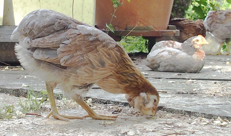 poule araucana prix