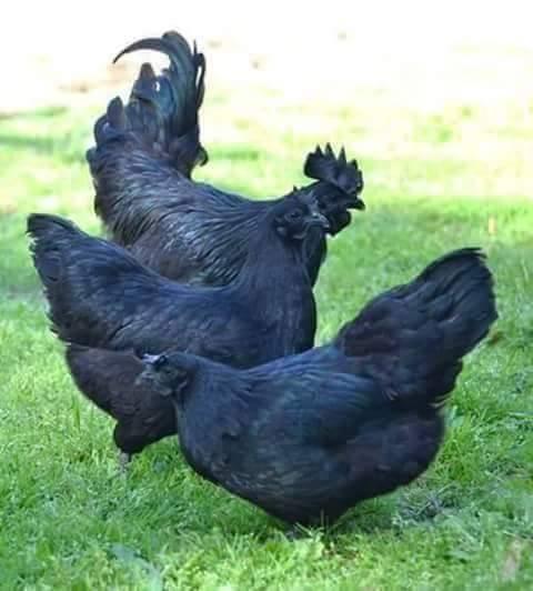 poule ayam cemani