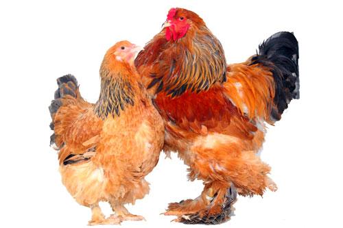 poule brahma columbia