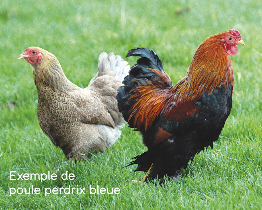 poule brahma perdrix grande