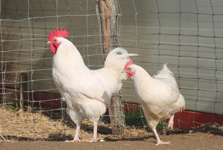 poule de ferme