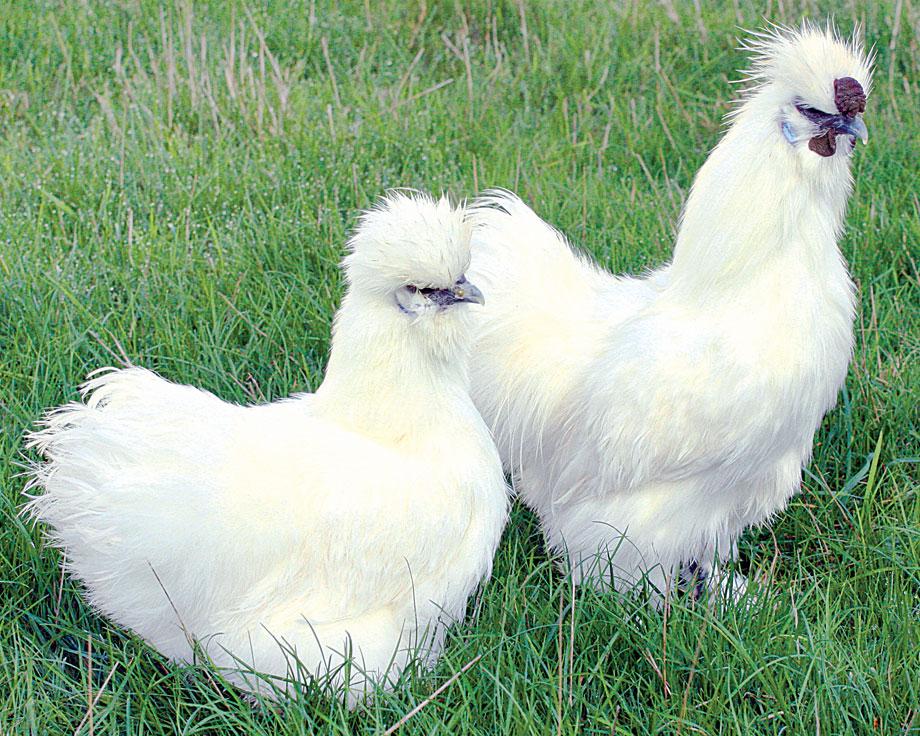 poule de soie blanche