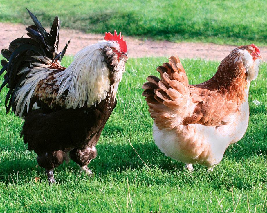 poule faverolles allemande