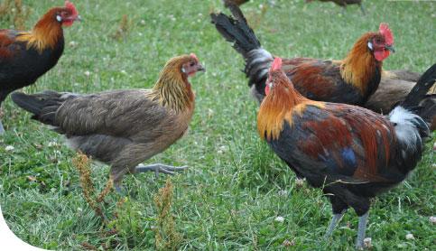 poule gauloise doree