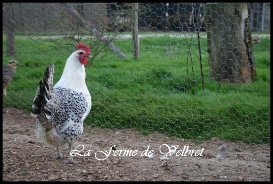 poule gauloise grise