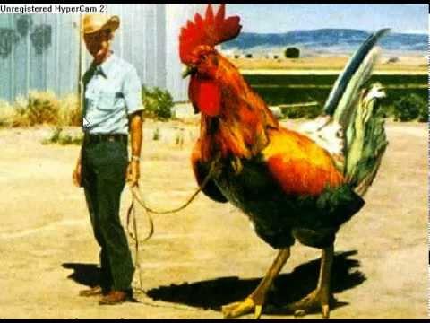 poule geante