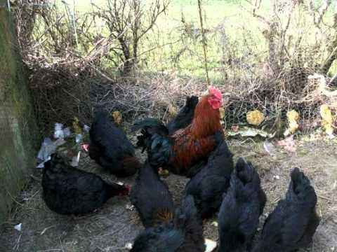 poule marans a vendre