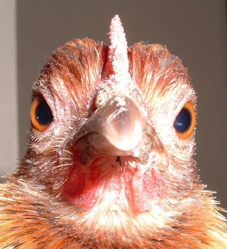 poule marrante