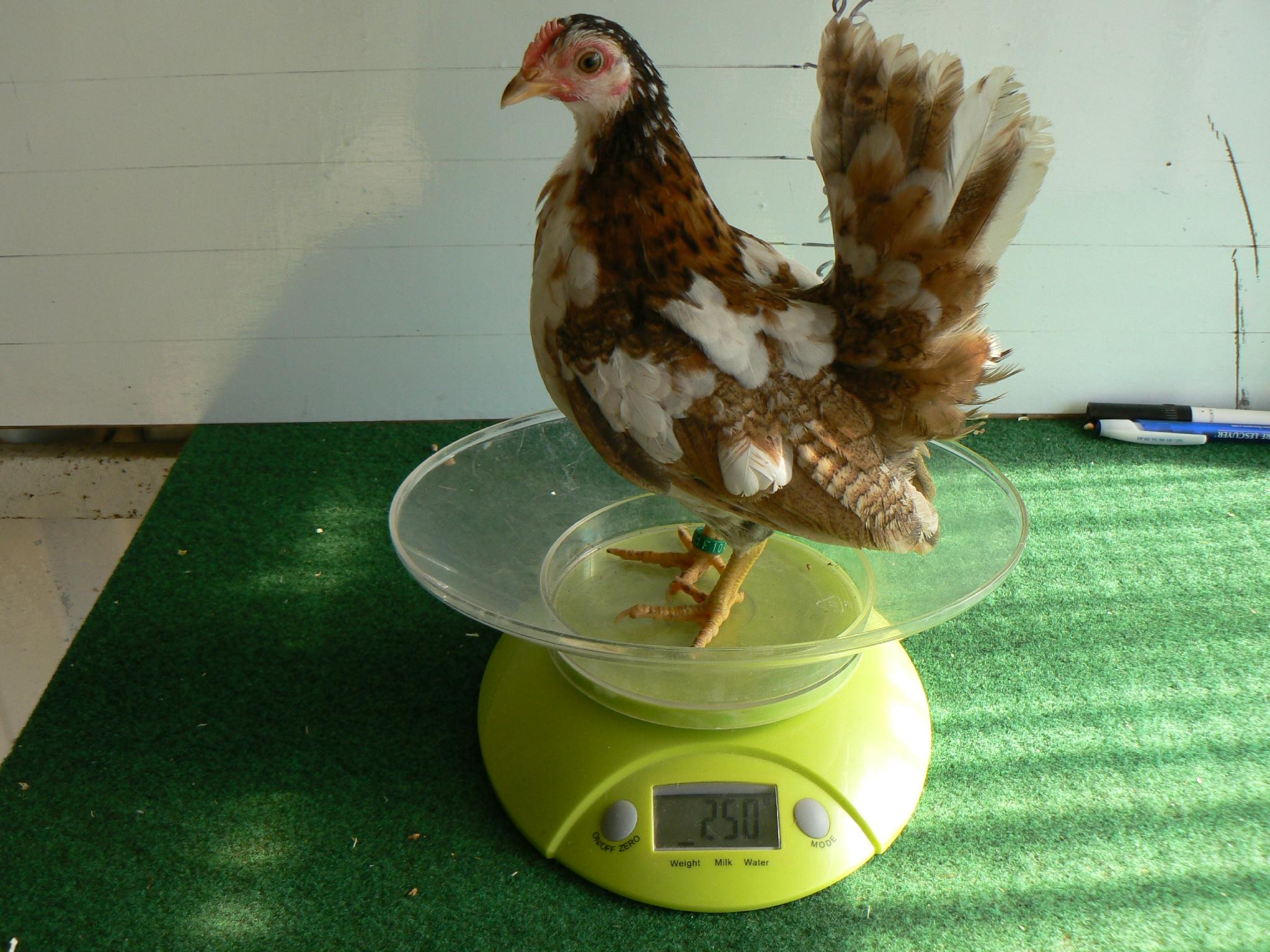 poule miniature