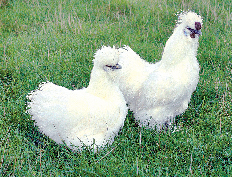 poule nain