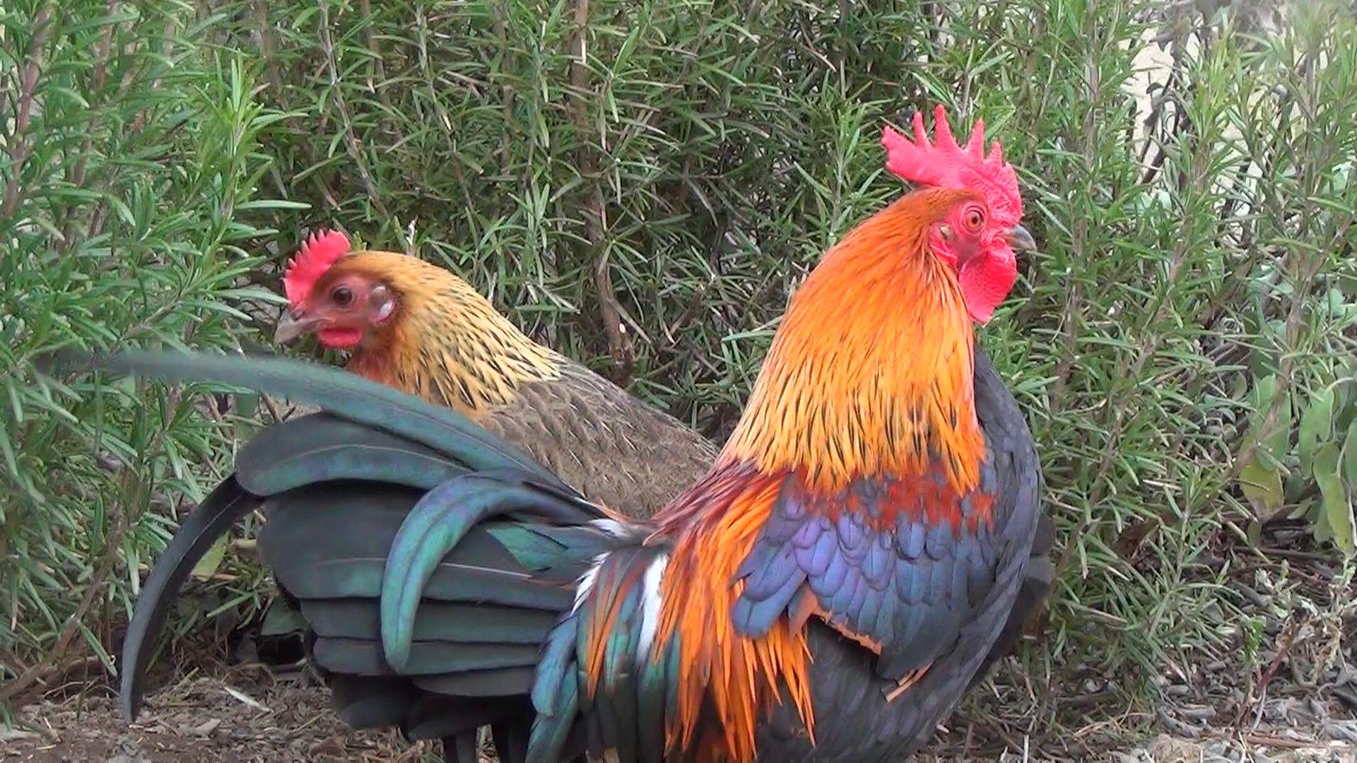 poule naine ardennaise