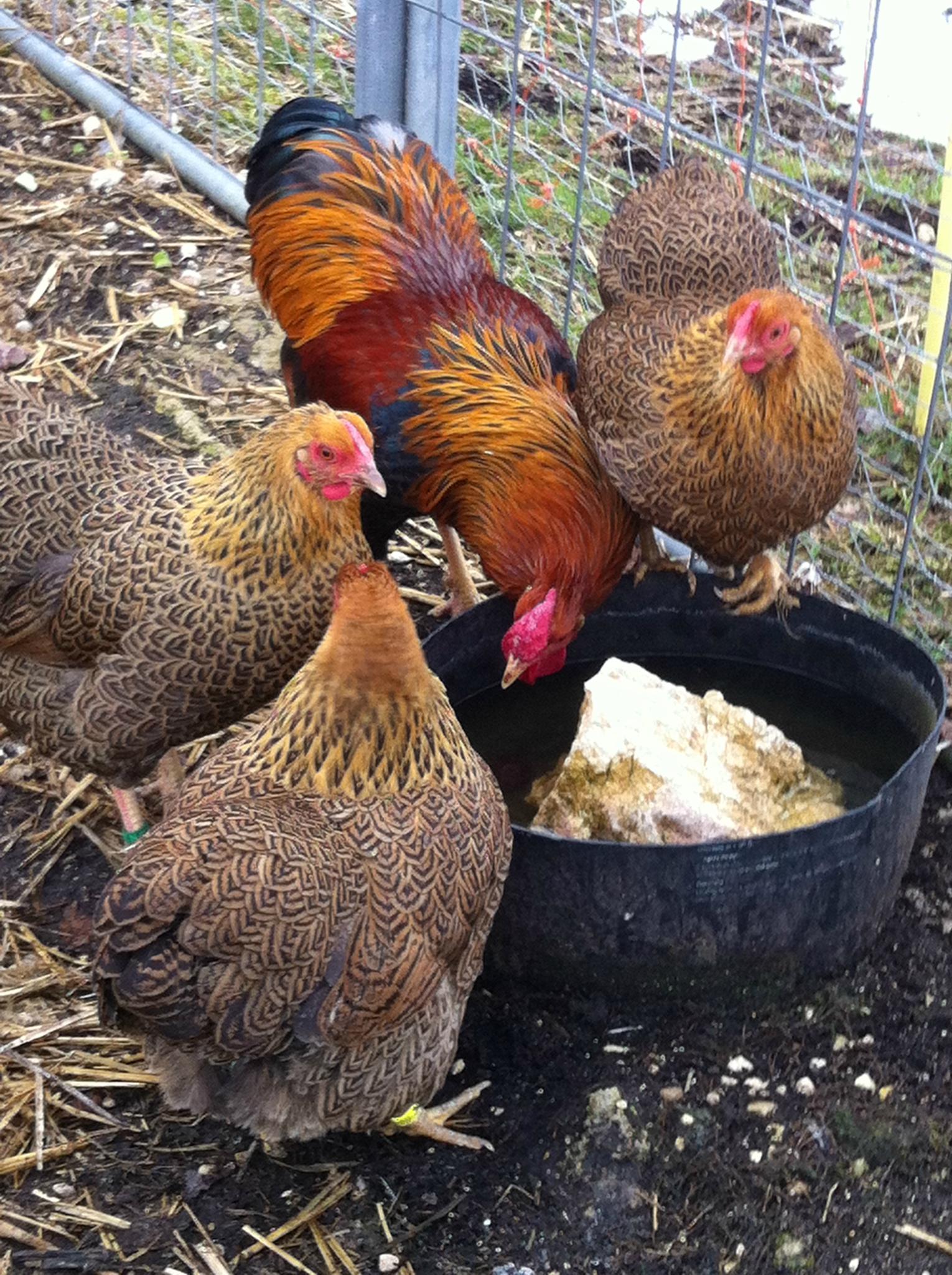 poule naine wyandotte