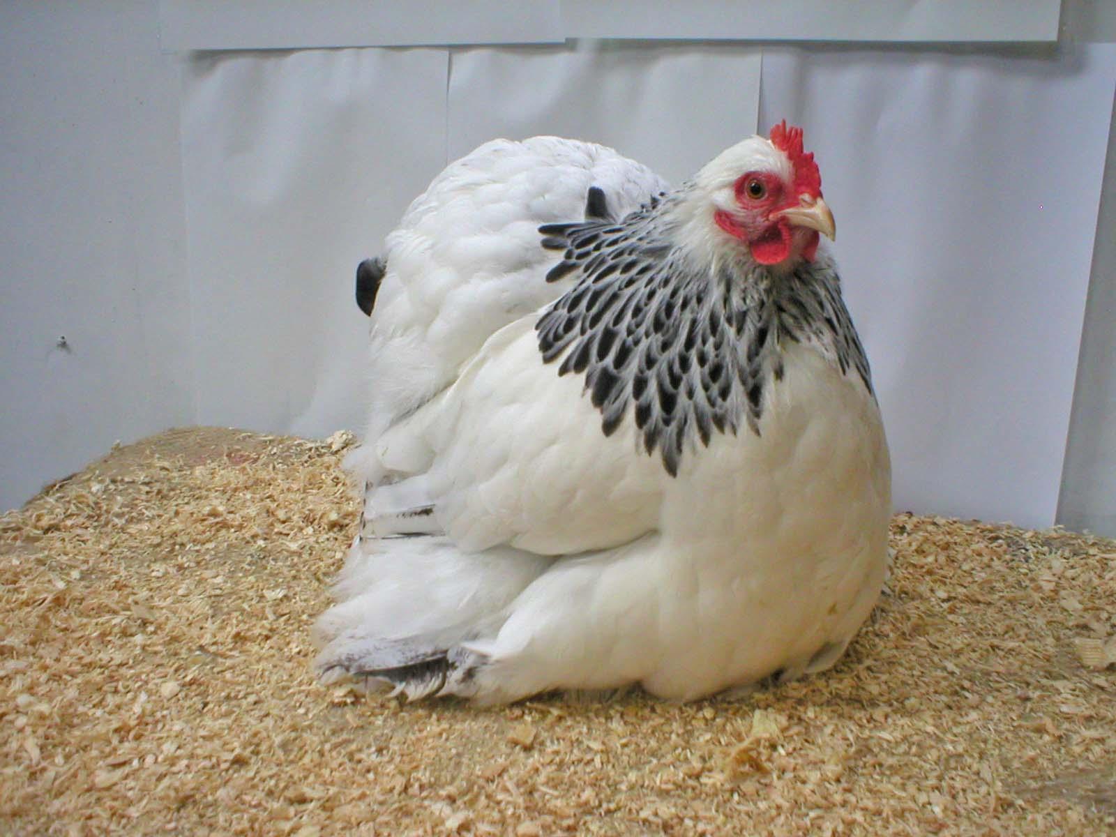 poule noire et blanche