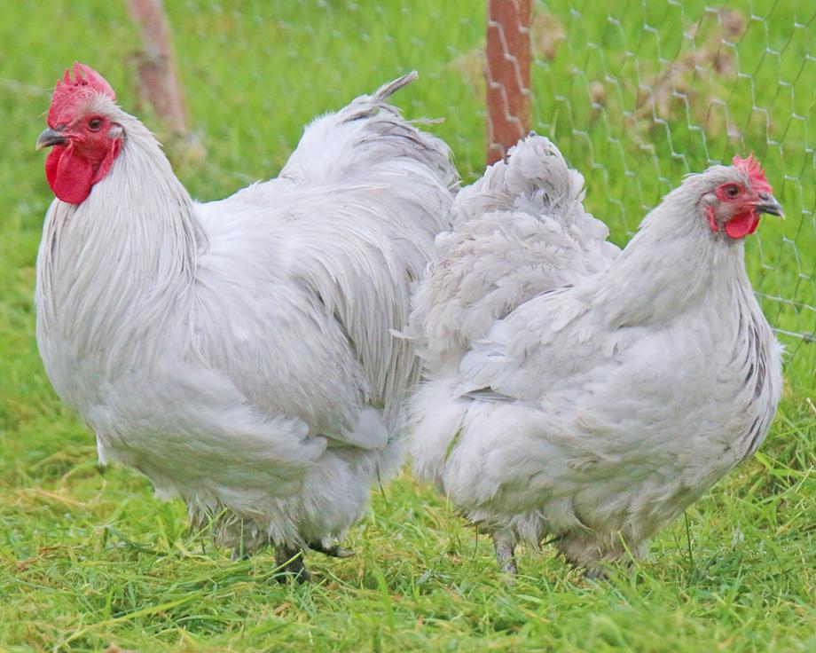 poule orpington