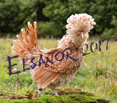 poule padoue frisee