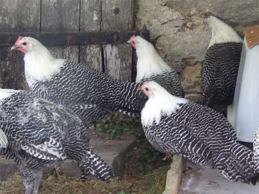 poule rare