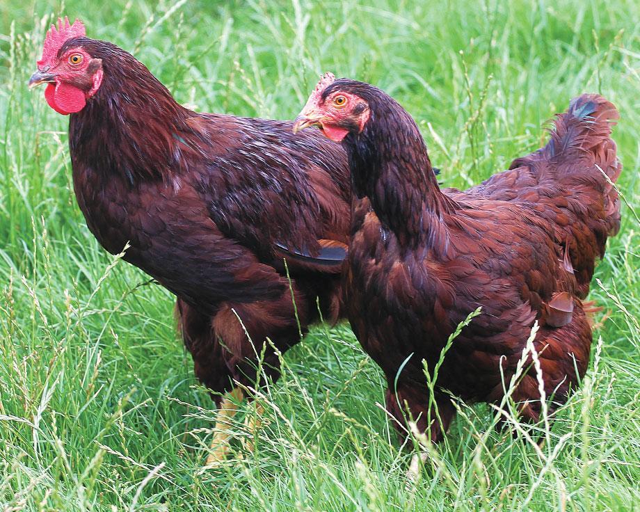 poule rhode island