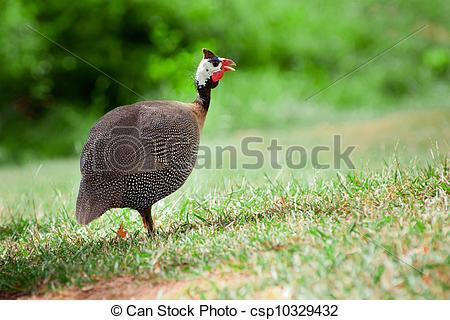 poule sauvage
