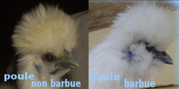 poule soie barbue
